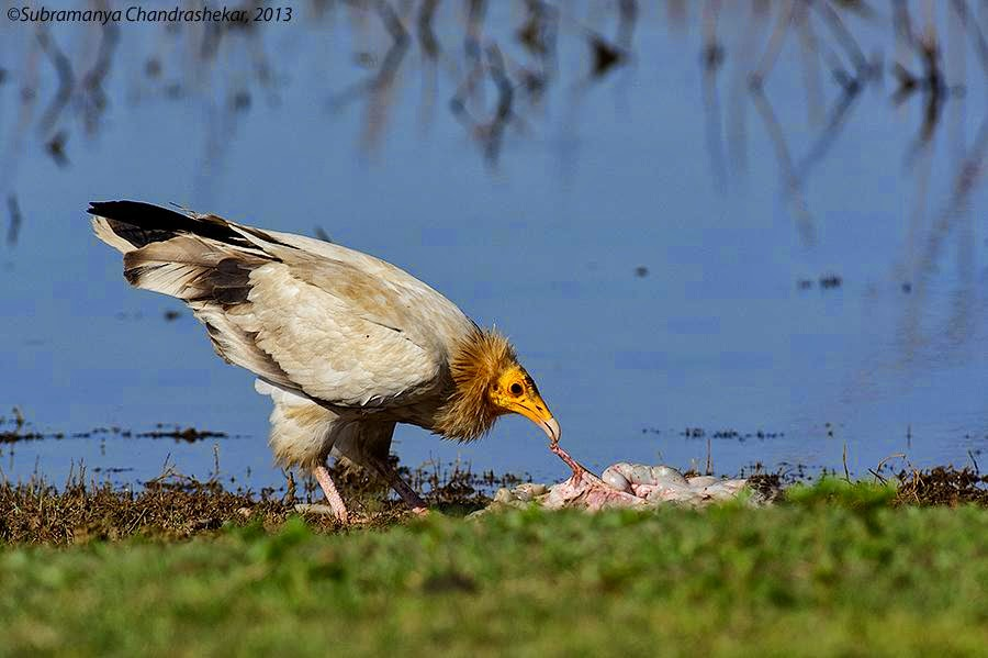An Egyptian Vulture feeding on carrion, Hesarghatta, Bangalore