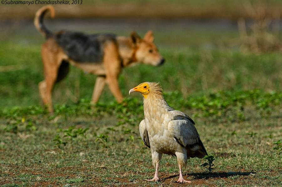 The scavenger vulture and its competitor, Hesarghatta, Bangalore, India