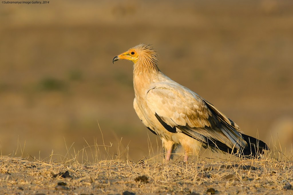 The Pharaoh's Chicken or the Egyptian Vulture, Desert National Park