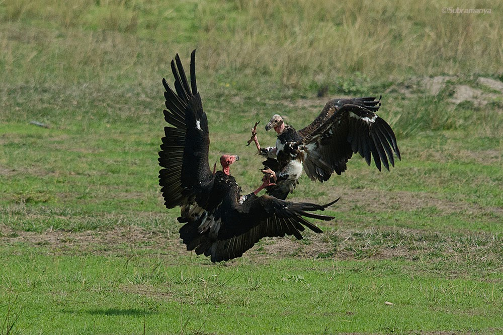 A couple of Red headed Vultures playing, Bandhavgarh National Park