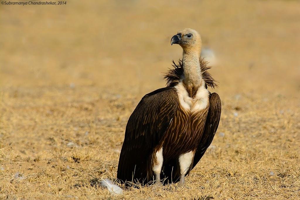 Eurasian Griffon Vulture, Bikaner