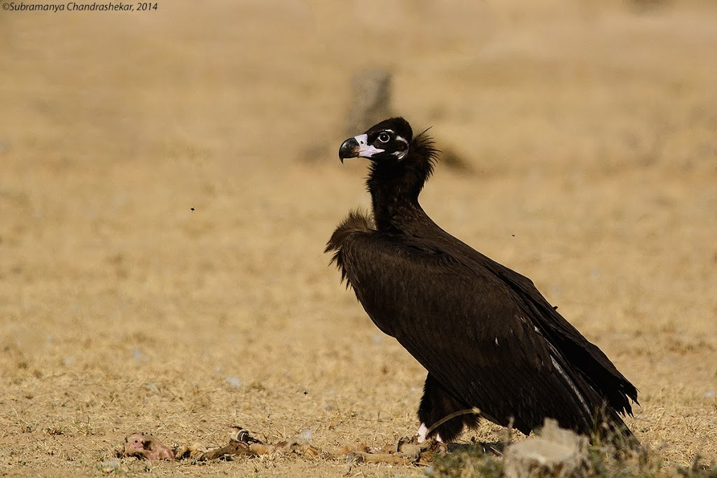 The Cinereous Vulture or the Monk Vulture, Bikaner