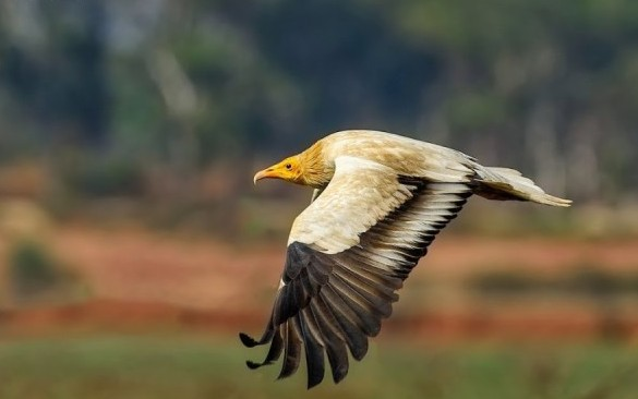 The Pharaoh's Chicken or the Egyptian Vulture, Hesarghatta, Bangalore