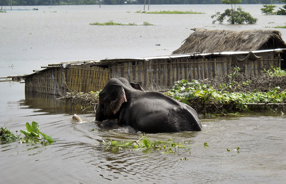 An elephant calf tries to keep up with its mother hardly able to keep its head above the water   Credits: http://indiasendangered.com/